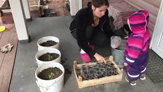 Пересаживаю помидоры, поливаю рассаду и продолжаем готовить участок для грядок