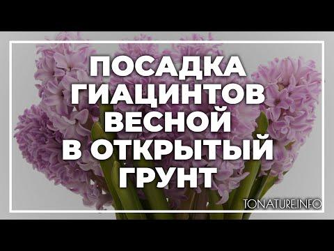 Посадка гиацинтов весной в открытый грунт | toNature.Info