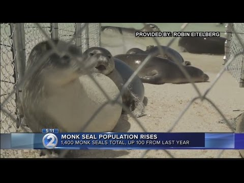 Number of Hawaiian monk seals on the rise