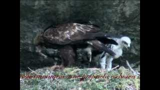 Meet the Golden Eagle: from childhood to the fly - L'Aquila Reale