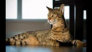 Кошка породы саванна /Cat breed Savannah