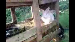 Very big New Zealand rabbits for sale in the Ozarks, Great eatin'!