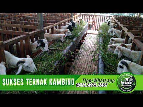 Ternak Kambing 100 Ekor Tanpa Ngarit - TERNAK SUKSES