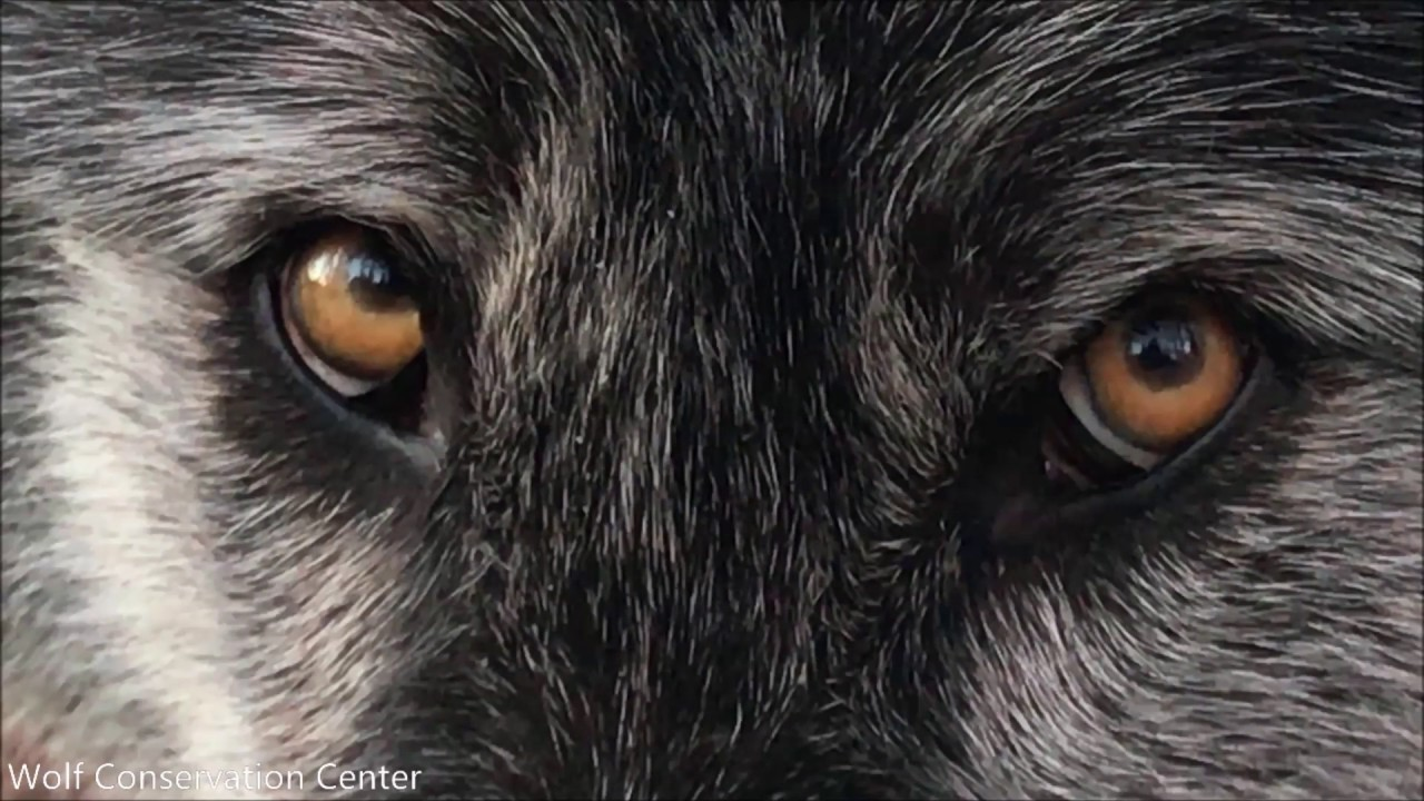 Black Wolf, Listen to His Eyes
