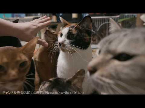 飼主、猫語でまやに話しかける 猫部屋ライブ映像   Cats & Kittens room 【Miaou みゃう】