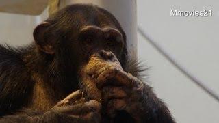 円山動物園のチンパンジー、チャーボー(オス/11歳)が、北京動物園へ移動...