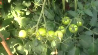 Trinidad scorpion growing update and apple tree and tomato