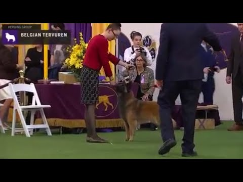 Belgian Tervuren | Breed Judging 2020