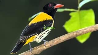Download Suara Burung Kepodang Hutan MP311