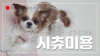곰돌이컷 미용을 거부하는 시츄 강아지 (셀프얼굴미용방법…