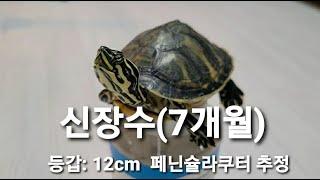 페닌슐라쿠터 거북이(생후 7개월)의 브이로그♡ 반수생 …