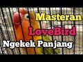Masteran Burung Lovebird Ngekek Durasi Panjang  Mp3 - Mp4 Download