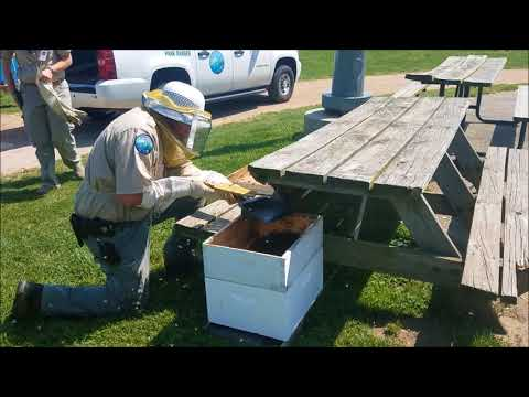 Honey Bee Swarm at Stemmers Run Middle School