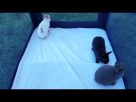 Netherland Dwarf Rabbit Babies For Sale.