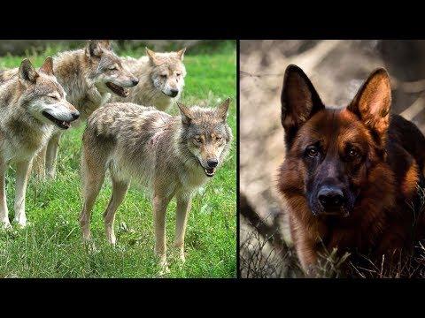 Besitzer lässt sein Hund im Wald mit Wölfen zurück - Jahre Später passierte etwas unglaubliches