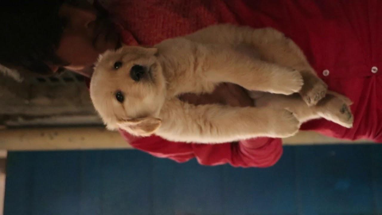 Awesome Quality Golden Retriever Puppies For Sale Delhi Dav Pet