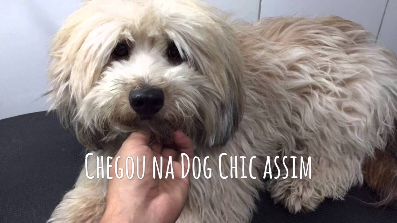 Tosa De Lhasa Apso Na Tesoura Transforma 231 227 O Do Fofucho