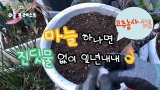 마늘 하나로 진딧물 퇴치 한방에 끝! | 진딧물 완전소…