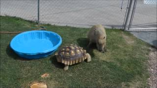 Capybara Is Chased by Giant Tortoise  ゾウガメに追わカピバラ thumbnail