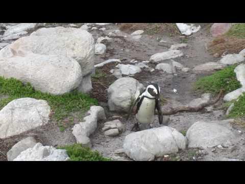 MVI 1736   Pinguinkolonie Bettys Bay