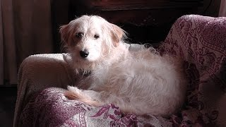 Cute Dogs Funny Animal Videos For Children. Poodle Golden Retriever Training. Cat Problems? No5 Rep2