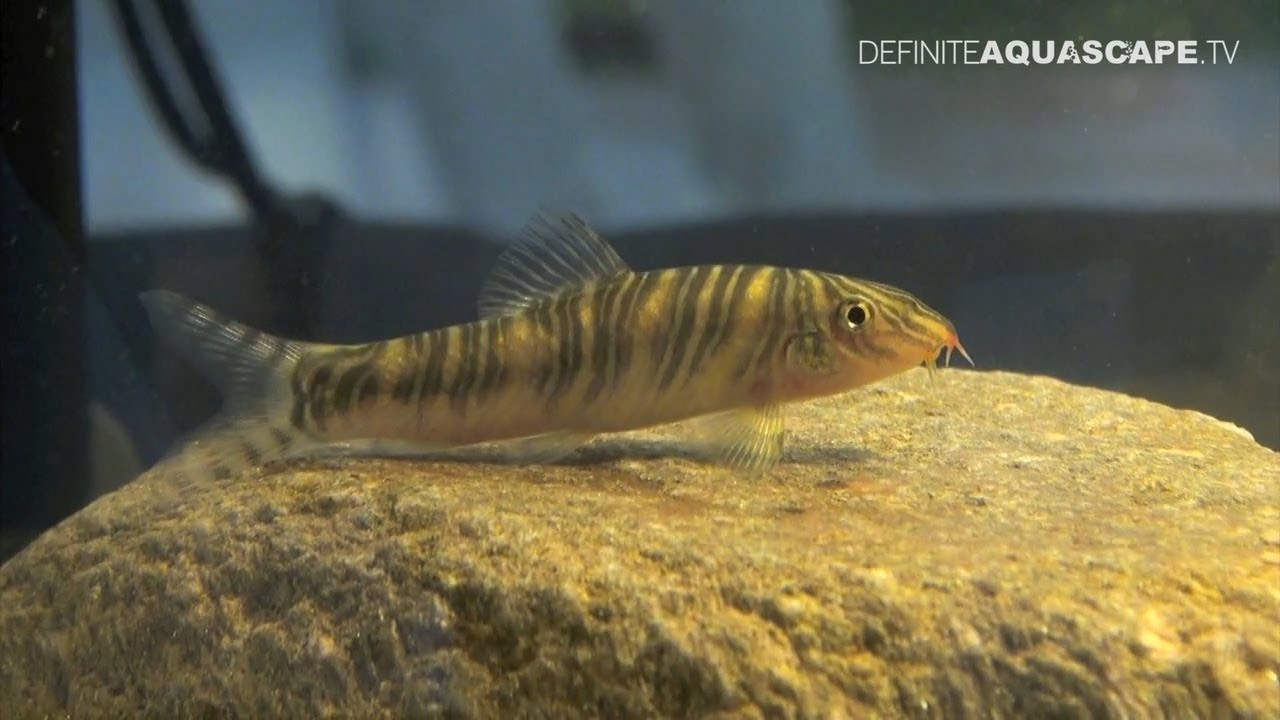 Freshwater aquarium fish bottom dwellers -