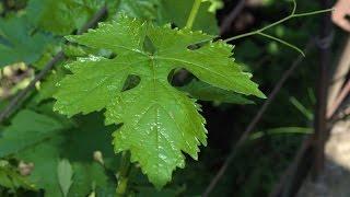 видео Виноград «Изабелла»: описание сорта, фото, отзывы садоводов