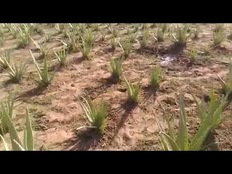 Aloevera organic farm
