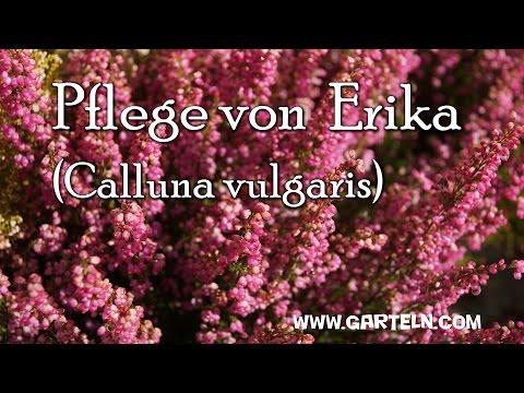 Tipps Für Die Pflege Von Erika (Calluna Vulgaris)