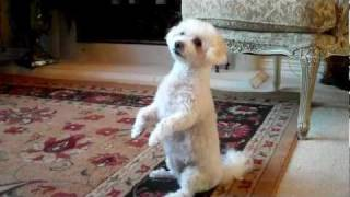 Princess The Bichon/maltese/toy Poodle Mix Doing Acrobat Tricks