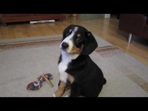 Entlebucher Sennenhund : Amy schaut DVD Dog-TV