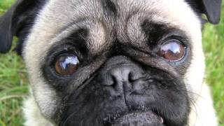 Dfw Pug Rescue