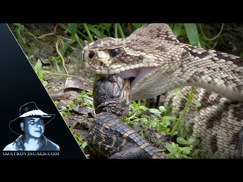 Rattlesnake Eats Alligator 01 Footage
