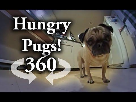 360 degree Video: Pugs Chompin down