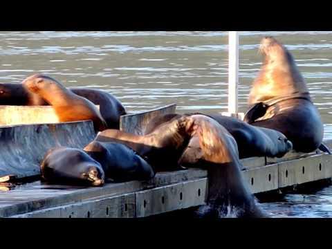 Vancouver Island Steller Sea Lions