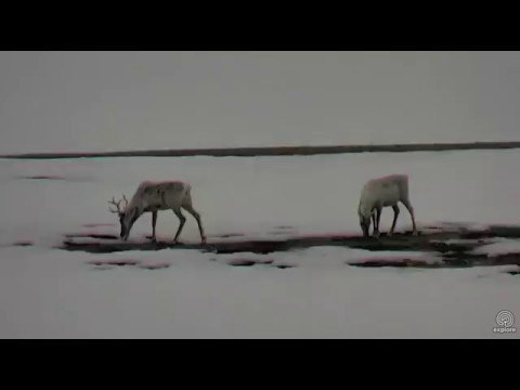 Caribou and Arctic Hare in Wapusk