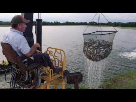 Farming Feeds Alabama - Catfish