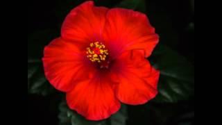 ハイビスカスの開花