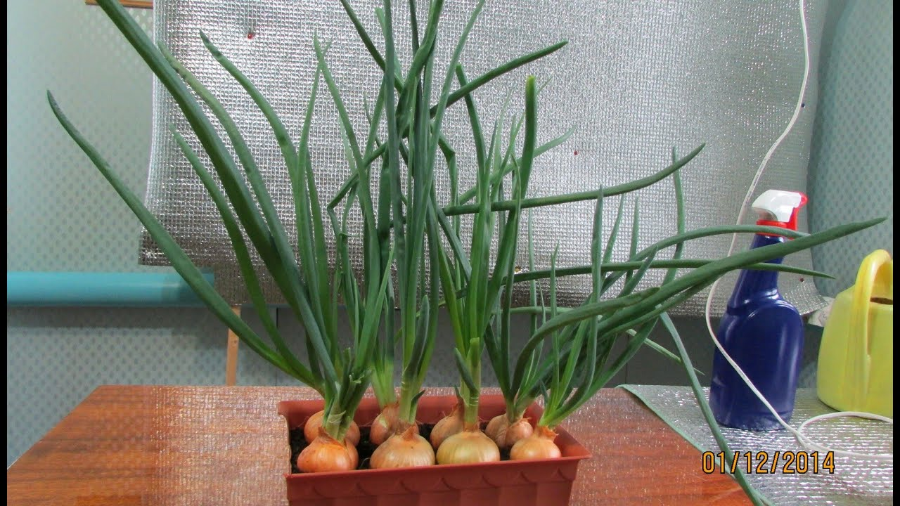Выращивание зелени лука дома