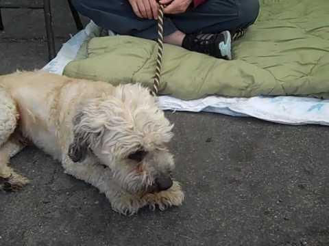 A4236092 Yogi | Miniature Poodle/Dandy Dinmont Terrier