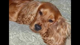 #107 FIELD SPANIEL 1/3  | Which Dog Should I Get? Dog Breed Selector