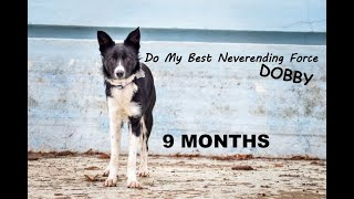 Dobby border collie / 9 months  trick & fun