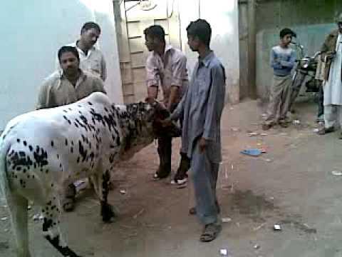 khubsurat cow qurbani in liaquatabad 2009 - YouTubeQurbani Cow 2009