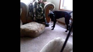 Chihuahua Vs Great Dane