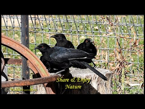 White-winged Choughs~Bird Watching Videos~Australian Backyard Birds