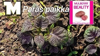 Perunan paras paikka kasvaa - Colomba-Annabelle-Violet Queen-Mulberry Beauty-Mozart