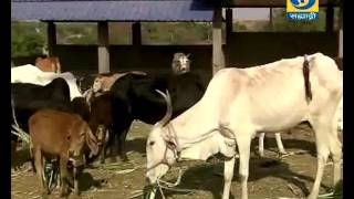 Video ' Open Cattleshed Management Of Deshi Cow '_' देशी गाईंचे मुक्त मोठा पध्दतीद्वारे व्यवस्थापन ' download MP3, 3GP, MP4, WEBM, AVI, FLV Juli 2018