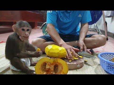 Baby Monkey   Doo Eats Pumpkin So Cute