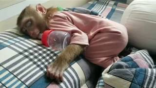 Monkey Baby Nui | Father took care of Nui so that his mother would go home to visit his grandfather