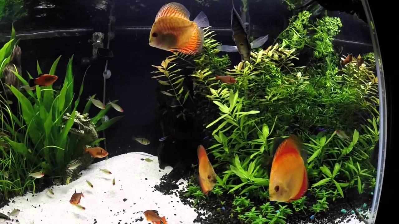 Freshwater aquarium fish profiles - Fish Profile Discus
